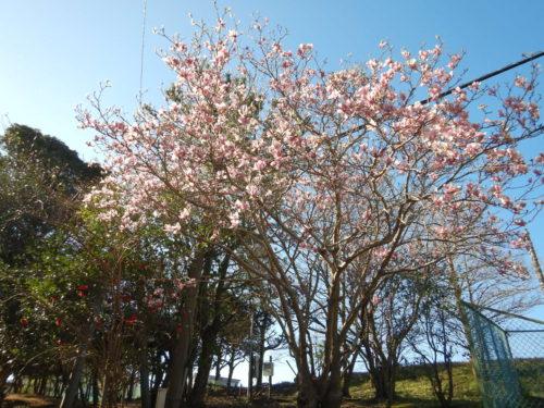 伊豆大島の大島桜