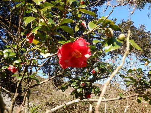 都立大島公園の椿