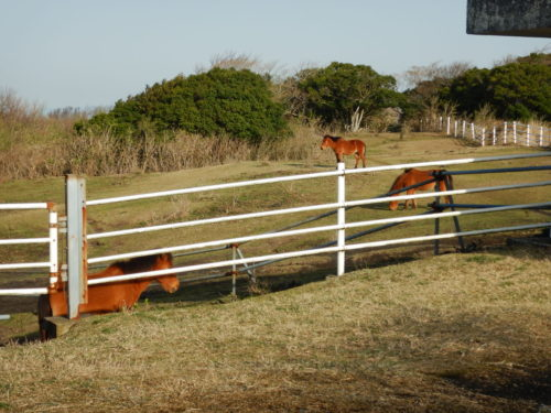 伊豆大島、三原山の馬