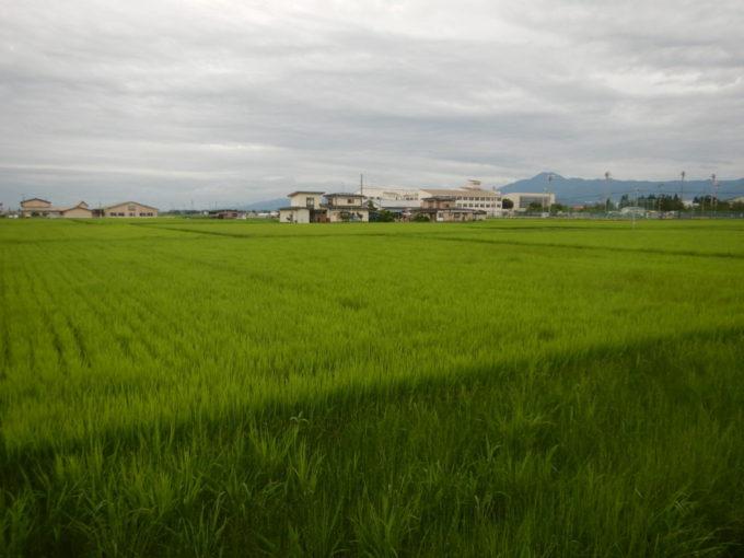 盛岡市の田んぼの稲