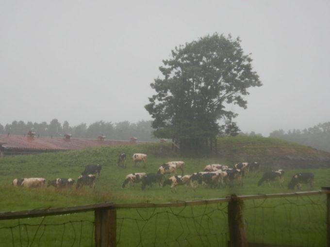 岩手県道219号沿いに放牧されていた牛