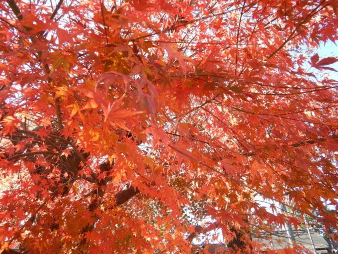 櫻岡大神宮の紅葉
