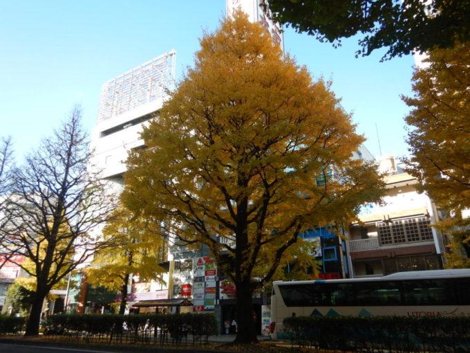 仙台市の銀杏並木